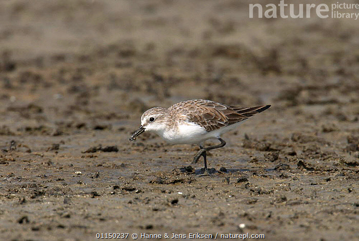 Red necked stint {Calidris ruficollis}, winter plumage, Samut Sakhon, Thailand, BEHAVIOUR,BIRDS,FEEDING,SANDPIPERS,SOUTH EAST ASIA,VERTEBRATES,WADERS,Asia, Waders, Hanne & Jens Eriksen