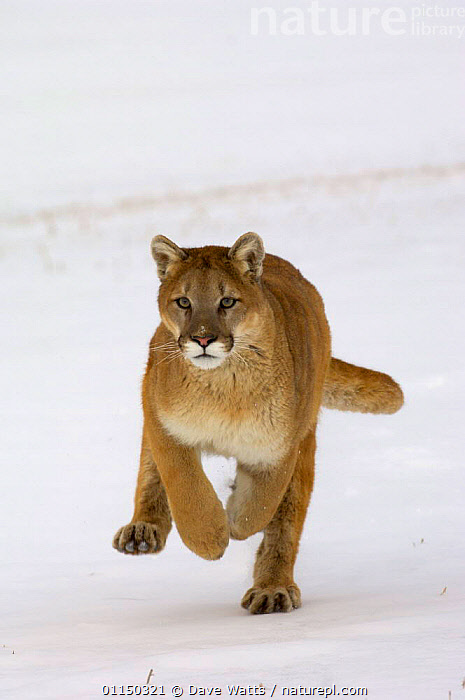 Nature Picture Library Cougar Mountain Lion Puma