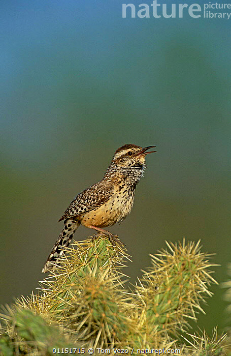 Cactus Wren {Campylorhychus brunneicapillus} singing on Cactus, Arizona, USA.  ,  BEHAVIOUR,BIRDS,CALLING,PROFILE,VERTEBRATES,VERTICAL,VOCALISATION,WRENS  ,  Tom Vezo
