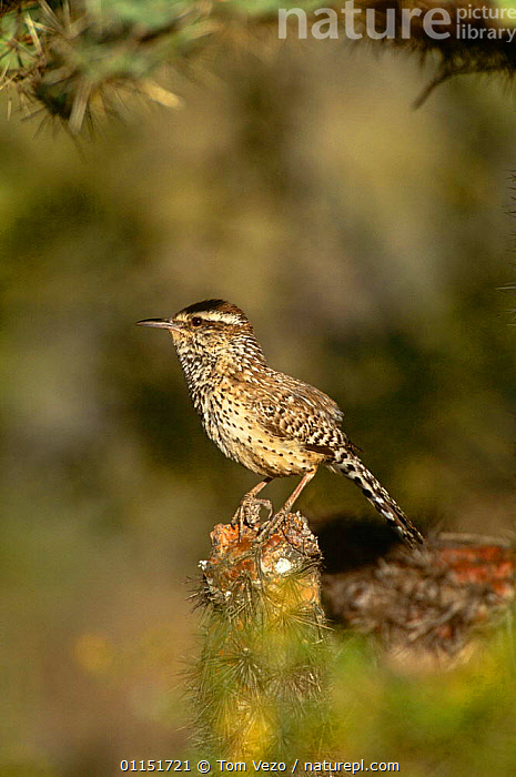 Cactus Wren {Campylorhychus brunneicapillus} Arizona, USA.  ,  BIRDS,PROFILE,USA,VERTEBRATES,VERTICAL,WRENS,North America  ,  Tom Vezo