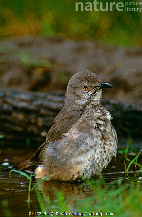Curve billed thrasher {Toxostoma curvirostre} bathing, Texas, USA  ,  BEHAVIOUR,BIRDS,NORTH AMERICA,THRASHERS,USA,VERTEBRATES,VERTICAL,WATER  ,  David Welling