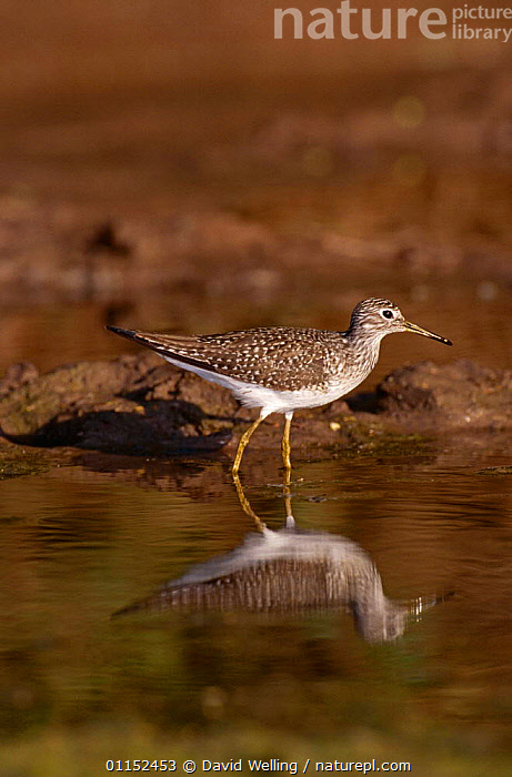 Lesser Yellowlegs {Tringa flavipes} at water, Texas, USA  ,  BIRDS,NORTH AMERICA,REFLECTIONS,SANDPIPERS,USA,VERTEBRATES,VERTICAL,WADERS  ,  David Welling