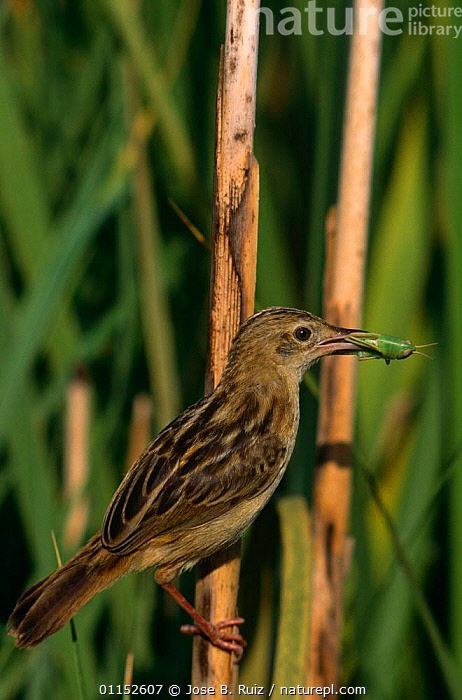 Fan-tailed warbler {Cisticola juncidis} with grasshopper prey, Alicante, Spain  ,  BIRDS,EUROPE,FEEDING,INSECTS,ORTHOPTERA,REEDS,SPAIN,VERTEBRATES,VERTICAL,WARBLERS,Invertebrates  ,  Jose B. Ruiz