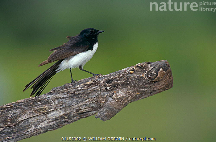 Black and white / Willie wagtail {Rhipidura leucophrys} territorial display, Queensland, Australia  ,  AUSTRALIA,BEHAVIOUR,BIRDS,FANTAILS,VERTEBRATES  ,  WILLIAM OSBORN