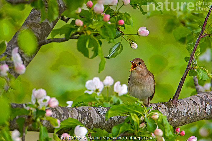 Nature Picture Library - Thrush Nightingale(Luscinua