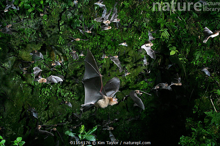 Insectivorous bats / Naked-backed moustached bat {Pteronotus davyi} emerging from the vertical shaft of a cave at dusk, Trinidad. Digitally enhanced.  ,  BATS,CARIBBEAN,CHIROPTERA,FLYING,GROUPS,MAMMALS,VERTEBRATES,West Indies  ,  Kim Taylor