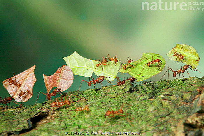 Bachacs / Leafcutter ants {Atta cephalotes} carrying sections of Cocoa leaf bearing 'riders' thought to ward off parasitic flies which would otherwise lay their eggs on the pieces of leaf. Trinidad, West Indies  - digital composite  ,  ANTS,BEHAVIOUR,GROUPS,HYMENOPTERA,INSECTS,INTERESTING,INVERTEBRATES,LEAFCUTTER ANTS,Catalogue1  ,  Kim Taylor