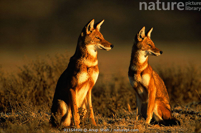 Two Simien jackals / Ethiopian wolf {Canis simensis} Bale Mountains, Bale NP, Ethiopia  ,  ALERT,CANIDS,CARNIVORES,EAST AFRICA,ENDANGERED,ENDEMIC,HIGHLANDS,JACKAL,JACKALS,MAMMALS,MOUNTAINS,PAIR,RESERVE,SITTING,TWO,Africa,Dogs  ,  Anup Shah