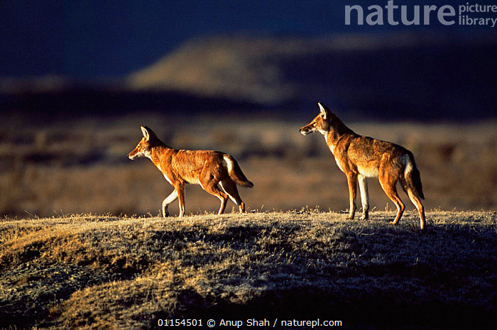 Two Simien jackals / Ethiopian wolf {Canis simensis} Bale Mountains, Bale NP, Ethiopia  ,  CANIDS,CARNIVORES,EAST AFRICA,ENDANGERED,ENDEMIC,HIGHLANDS,JACKAL,JACKALS,MAMMALS,MOUNTAINS,PAIR,RESERVE,TROTTING,TWO,Africa,Dogs,Catalogue1  ,  Anup Shah