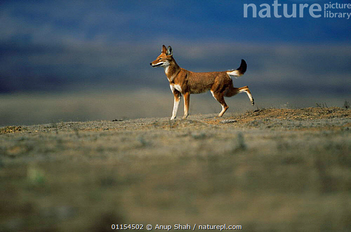 Simien jackal / Ethiopian wolf {Canis simensis} marking territory by scraping, Bale Mountains, Bale NP, Ethiopia  ,  BEHAVIOUR,CANIDS,CARNIVORES,EAST AFRICA,ENDANGERED,ENDEMIC,HIGHLANDS,JACKALS,MALES,MAMMALS,MOUNTAINS,RESERVE,SCRATCHING,TERRITORIAL,Africa,Dogs  ,  Anup Shah