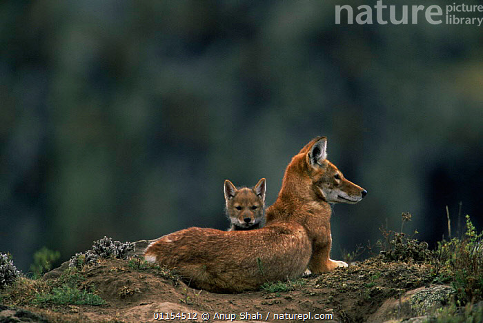 Simien jackal / Ethiopian wolf {Canis simensis} mother with cub at den, Bale Mountains, Bale NP, Ethiopia  ,  BABIES,CANIDS,CARNIVORES,CUBS,EAST AFRICA,ENDANGERED,ENDEMIC,FAMILIES,HIGHLANDS,HOMES,JACKALS,MAMMALS,MOUNTAINS,PUPS,RESERVE,Africa,Dogs  ,  Anup Shah