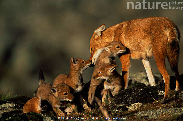 Simien jackal / Ethiopian wolf {Canis simensis} mother greeting cubs at den, Bale Mountains, Bale NP, Ethiopia  ,  BABIES,CANIDS,CARNIVORES,CUBS,EAST AFRICA,ENDANGERED,ENDEMIC,FAMILIES,FEMALES,HIGHLANDS,JACKALS,JUVENILE,MAMMALS,MOUNTAINS,PARENTAL,PUPS,RESERVE,SOCIAL BEHAVIOUR,YOUNG,Africa,Dogs  ,  Anup Shah