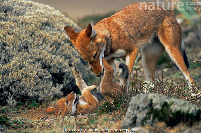 Simien jackal / Ethiopian wolf {Canis simensis} cub playing with mother, Bale Mountains, Bale NP, Ethiopia  ,  AFFECTIONATE,BABIES,BABY,CANIDS,CARNIVORES,CUBS,EAST AFRICA,ENDANGERED,ENDEMIC,FAMILIES,HIGHLANDS,INTERACTION,JACKALS,JUVENILE,MAMMALS,MOUNTAINS,PARENTAL BEHAVIOUR,PLAY,PLAYFUL,PUPS,RESERVE,YOUNG,Africa,concepts,Communication,Dogs  ,  Anup Shah