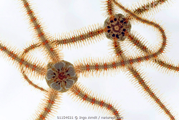 Two Common brittlestars {Ophiothrix fagilis} from North Sea, Europe FOR SALE ONLY IN UK  ,  ARTY,BRITTLESTAR,BRITTLESTARS,CUTOUT,ECHINODERMS,EUROPE,INVERTEBRATES,LEGS,MARINE,NORTH ATLANTIC,OPHIUROIDEA,TEMPERATE,UNDERWATER  ,  Ingo Arndt