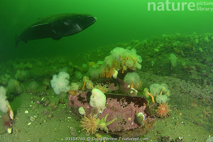 Greenland sleeper shark (Somniosus microcephalus) swimming over Anemones, Sea stars and Whelks, St. Lawrence River estuary, Canada