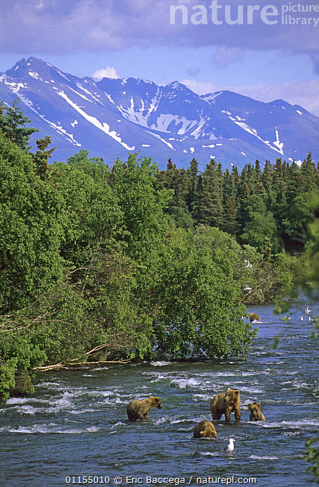 Female Grizzly bear {Ursus arctos horribilis} with three (18-month) cubs, fishing salmon in Brooks River, Katmai National Park, Alaska, USA., BEARS,BROWN BEAR,CARNIVORES,FAMILIES,FEEDING,FISHING,GROUPS,LANDSCAPES,MAMMALS,RIVERS,USA,VERTEBRATES,VERTICAL,North America,Catalogue1, Eric Baccega