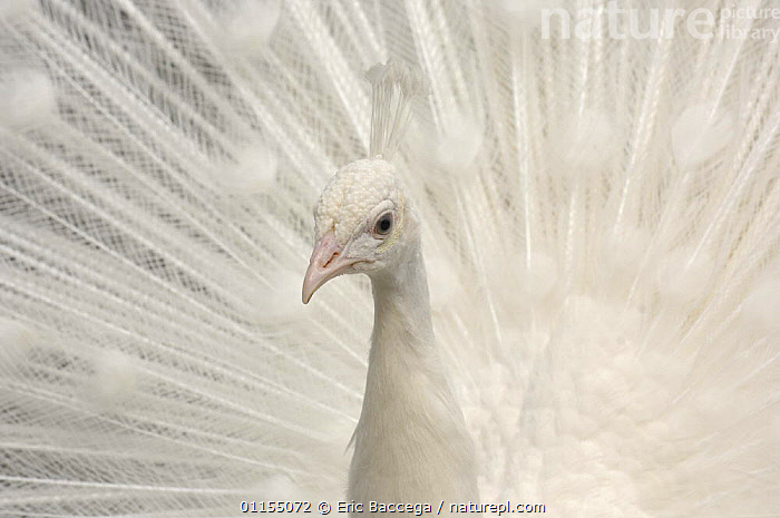 Albino India blue Peafowl {Pavo cristatus}  ,  BIRDS,GALLIFORMES,GAME BIRDS,HEADS,PHEASANTS,PORTRAITS,VERTEBRATES,Catalogue1  ,  Eric Baccega