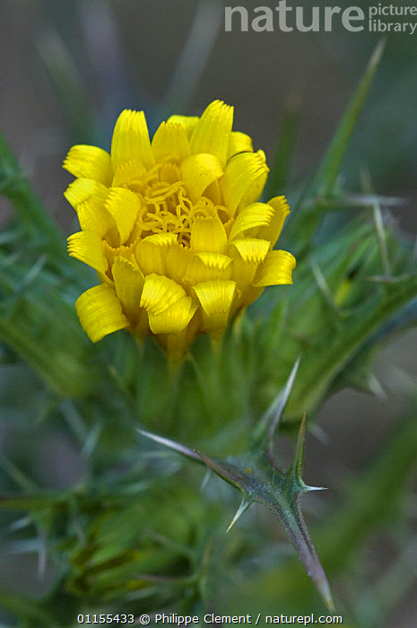 Golden thistle {Scolymus hispanicus} Spain  ,  ASTERACEAE,DICOTYLEDONS,EUROPE,FLOWERS,PLANTS,SPAIN,VERTICAL,YELLOW  ,  Philippe Clement