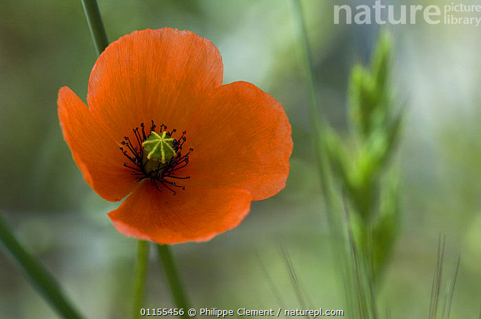Long headed poppy {Papaver dubium} in flower, Spain, DICOTYLEDONS,EUROPE,FLOWERS,PAPAVERACEAE,PLANTS,RED,SPAIN, Philippe Clement