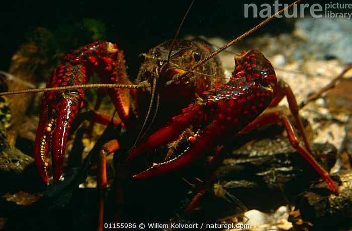 Louisiana swamp crayfish (Procambarus clarkii) captive, introduced to Holland in 1990's.  ,  ARTHROPODS,CRAYFISH,CRUSTACEANS,EUROPE,FRESHWATER,HOLLAND,INTRODUCTION,INVERTEBRATES,LAKES,PESTS,PONDS,PORTRAITS,RIVERS,UNDERWATER,USA  ,  Willem Kolvoort