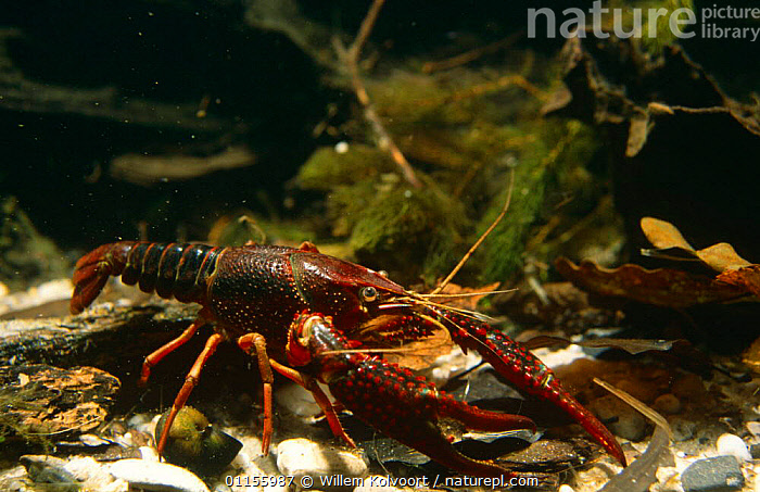 Louisiana swamp crayfish (Procambarus clarkii) captive, introduced to Holland in 1990's.  ,  ARTHROPODS,CRAYFISH,CRUSTACEANS,EUROPE,FRESHWATER,HOLLAND,INTRODUCTION,INVERTEBRATES,LAKES,PESTS,PONDS,RIVERS,UNDERWATER,USA  ,  Willem Kolvoort