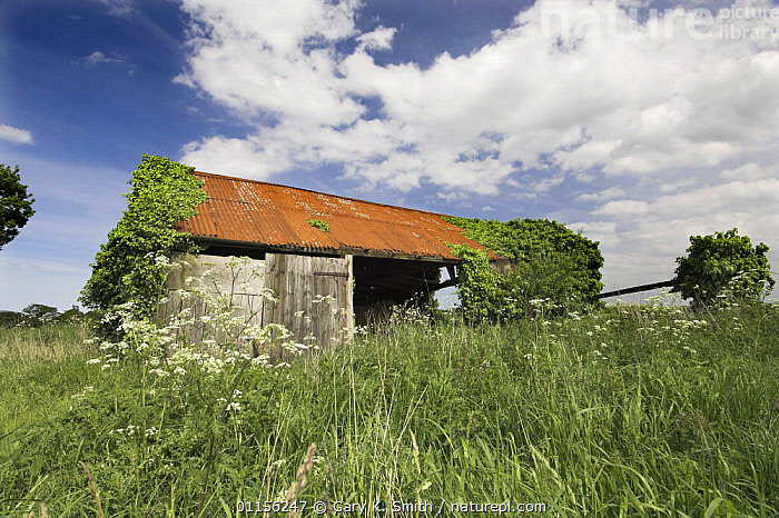 Derelict farm building, colonised by plants, Norfolk, UK  ,  BARN,BUILDINGS,COLONISATION,COUNTRYSIDE,EUROPE,FARMLAND,LANDSCAPES,UK,United Kingdom,British,ENGLAND  ,  Gary K. Smith