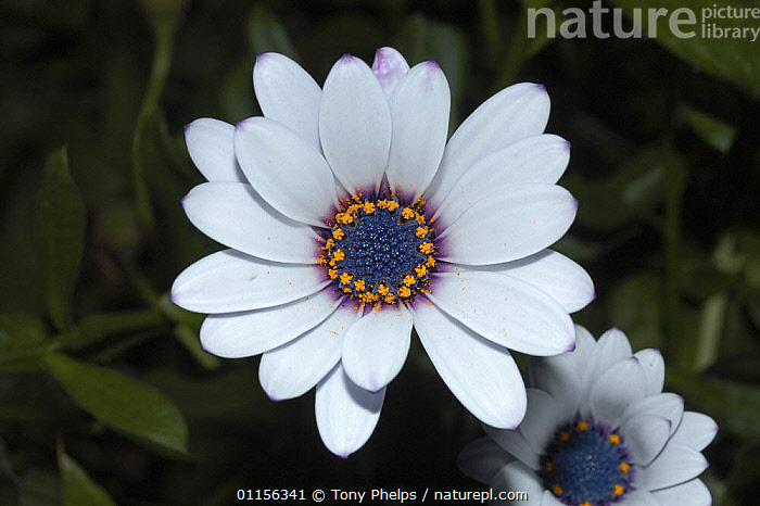 Cape daisy {Dimorphotheca sp} Nr Oudtshoorn, Little Karoo, South Africa,  ,  ASTERACEAE,DAISIES,DICOTYLEDONS,FLOWERS,PETALS,PLANTS,PORTRAITS,SOUTHERN AFRICA  ,  Tony Phelps