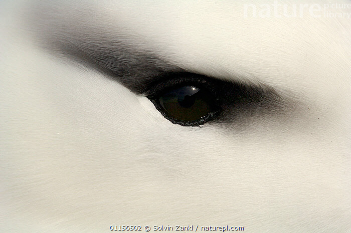 Close up of Black browed albatross (Thalassarche melanophrys) eye, Falkland Islands  ,  ALBATROSSES,ATLANTIC,BIRDS,brows,close ups,CRYPTIC,DIOMEDEA MELANOPHRYS,EYES,SEABIRDS,VERTEBRATES,Catalogue1,Marine  ,  Solvin Zankl
