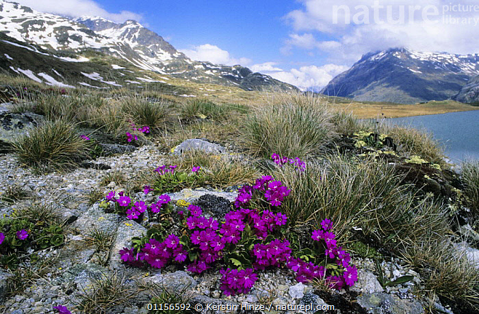Red Alpine / Stinking Primerose (Primula hirsuta) flowering at lake Lej Nair, Bernina Valley, Grisons, Switzerland  ,  ALPINE,DICOTYLEDONS,EUROPE,FLOWERS,LANDSCAPES,PLANTS,PRIMULACEAE,PURPLE,SNOW,SPRING,Switzerland  ,  Kerstin Hinze