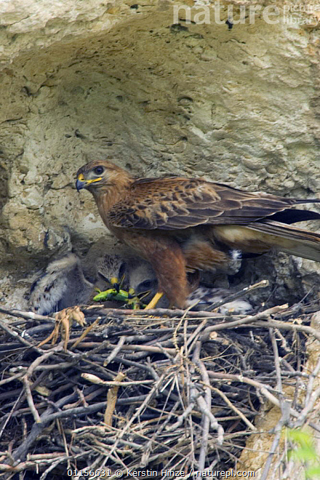 Long-legged Buzzard (Buteo rufinus) with chicks. Chicks are feeding on a Green Lizard (Lacerta viridis) Bulgaria  ,  BEHAVIOUR,BIRDS,BIRDS OF PREY,bulgaria,buzzards,CHICKS,EUROPE,FEEDING,HAWKS,LIZARDS,NESTS,PARENTAL,PREDATION,prey,VERTEBRATES,VERTICAL  ,  Kerstin Hinze