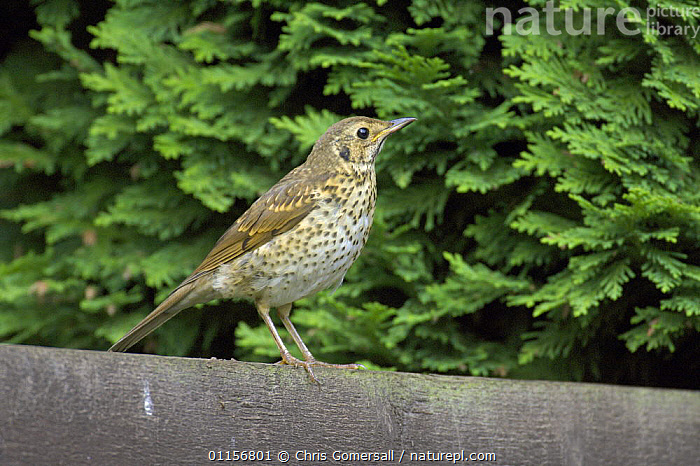 Song thrush (Turdus philomelos) on garden fence. Bedfordshire, UK. July 2006  ,  BIRDS,EUROPE,GARDENS,PERCHING,SONGBIRDS,SUMMER,THRUSHES,UK,VERTEBRATES,United Kingdom,British  ,  Chris Gomersall