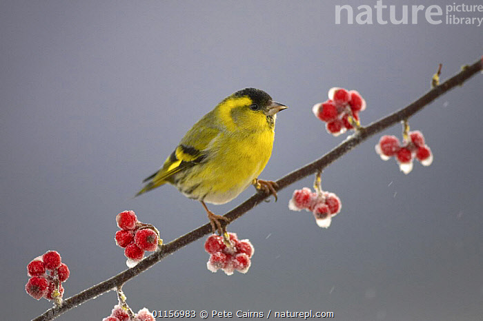 Siskin (Carduelis spinus) male perched on frosted Cotoneaster branch, Scotland, UK  ,  BERRIES,BIRDS,EUROPE,FINCHES,FROST,SCOTLAND,UK,VERTEBRATES,WINTER,United Kingdom,Weather,British, United Kingdom  ,  Pete Cairns