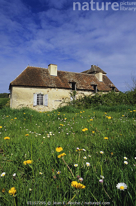 Old country building with Dandelions (Taraxacum sp) and daisies in foreground, Forez, France  ,  BUILDINGS,COTTAGES,COUNTRYSIDE,DAISY,EUROPE,FARMHOUSES,FLOWERS,FRANCE,HOMES,HOUSES,VERTICAL  ,  Jean E. Roche