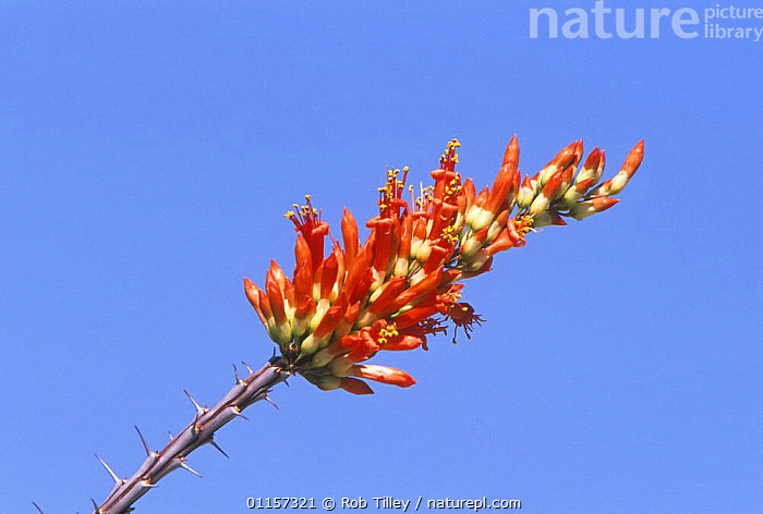 Ocotillo / Coachwhip / Jacob's Staff in flower (Fouquieria splendens) against the sky, Sonora Desert Museum, Tucson, Arizona, USA, DESERTS,DICOTYLEDONS,FLOWERS,FOUQUIERACEAE,high angle shot,north america,ORANGE,PLANTS,RED,SPINES,SUCCULENT,THORNS,USA,vine cactus ,low angle, Rob Tilley