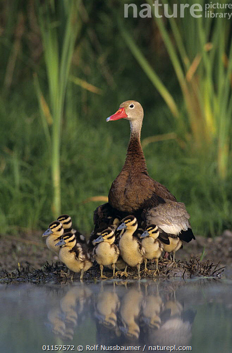 Female Black-bellied Whistling-Duck (Dendrocygna autumnalis) with ducklings, Lake Corpus Christi, Texas, USA. June 2003  ,  BABIES,BEHAVIOUR,BIRDS,CHICKS,CUTE,ducklings,HUMOROUS,MOTHER,north america,PARENTAL,texas,USA,VERTEBRATES,VERTICAL,WATERFOWL,WETLANDS,WHISTLING DUCKS,Concepts,Wildfowl  ,  Rolf Nussbaumer