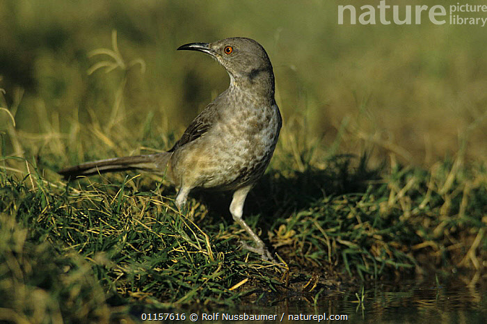 Curve-billed Thrasher (Toxostoma curvirostre) by water to drink, Starr County, Rio Grande Valley, Texas, USA. May 2002  ,  BIRDS,DRINKING,north america,texas,THRASHERS,USA,VERTEBRATES,WATER  ,  Rolf Nussbaumer