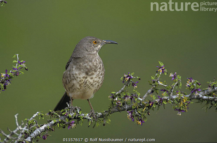 Curve-billed Thrasher (Toxostoma curvirostre) on blooming Guayacan (Guaiacum angustifolium), Starr County, Rio Grande Valley, Texas, USA. April 2002  ,  BIRDS,FLOWERS,north america,texas,THRASHERS,USA,VERTEBRATES  ,  Rolf Nussbaumer
