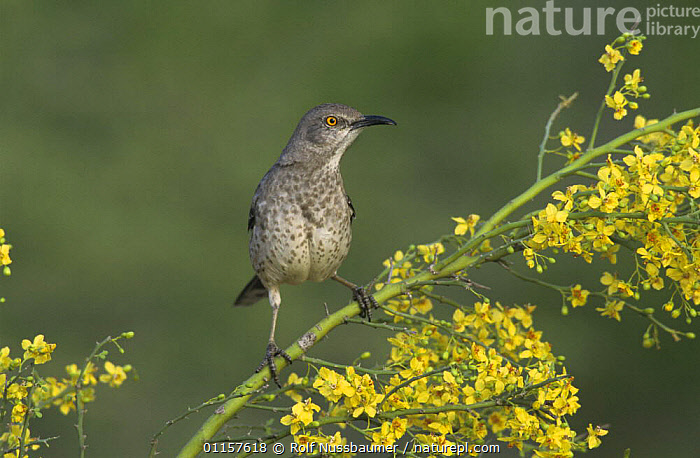 Curve-billed Thrasher (Toxostoma curvirostre) on blooming Paloverde (Parkinsonia texana), Starr County, Rio Grande Valley, Texas, USA. April 2002  ,  FLOWERS,north america,texas,USA,YELLOW  ,  Rolf Nussbaumer