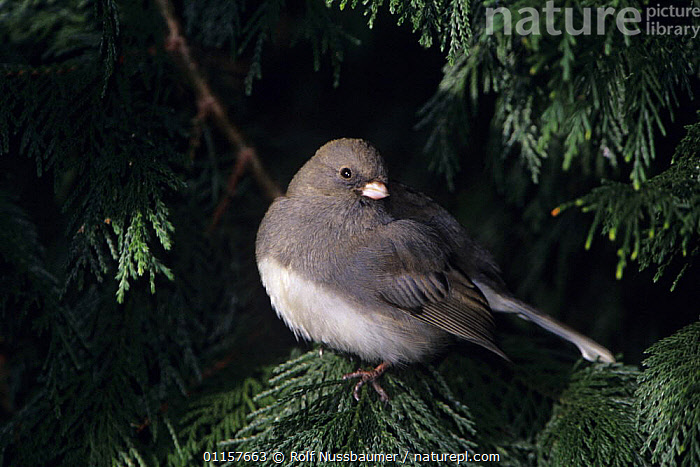 Dark-eyed Junco (Junco hyemalis) in fur tree Burlington, North Carolina, USA. January 2005  ,  BIRDS,carolina,CONIFERS,furs,north america,SPARROWS,USA,VERTEBRATES  ,  Rolf Nussbaumer