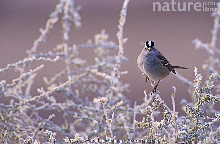 White-crowned Sparrow (Zonotrichia leucophrys) on branches covered in frost, Bosque del Apache National Wildlife Refuge, New Mexico, USA. December 2003  ,  BIRDS,BLUE,COLD,FROST,ICE,New mexico,north america,PORTRAITS,PURPLE,SPARROWS,USA,VERTEBRATES,WINTER,Weather,Catalogue1  ,  Rolf Nussbaumer
