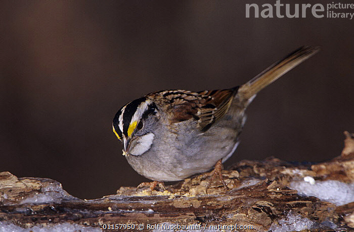 White-throated Sparrow (Zonotrichia albicollis) on log with ice, Burlington, North Carolina, USA. January 2005  ,  BIRDS,COLD,ICE,NORTH AMERICA,NORTH CAROLINA,SPARROWS,USA,VERTEBRATES,WINTER  ,  Rolf Nussbaumer