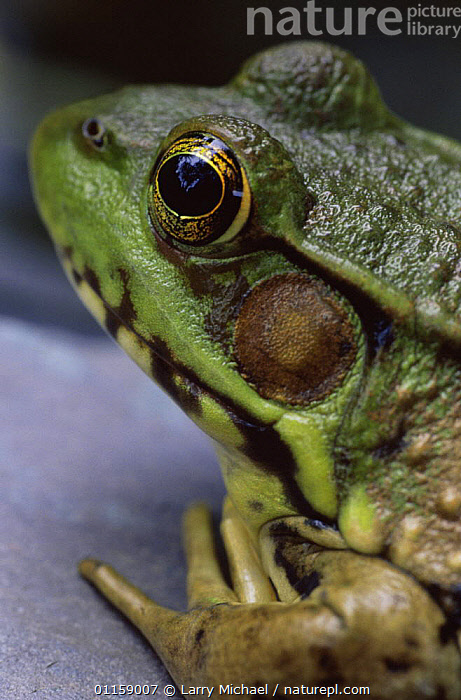 Green frog {Rana clamitans} head close up, Wisconsin, USA  ,  AMPHIBIANS, Anura, EYES, FROGS, HEADS, LAKES, PORTRAITS, VERTEBRATES, PONDS, USA, VERTICAL,North America  ,  Larry Michael
