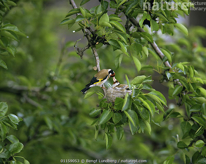 Goldfinch {Carduelis carduelis} feeding fledgling at nest, Sweden  ,  BIRDS,EUROPE,FINCHES,NESTS,PARENTAL BEHAVIOUR,SCANDINAVIA,SWEDEN,VERTEBRATES  ,  Bengt Lundberg