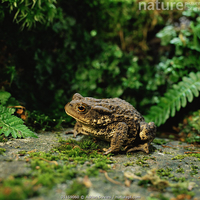Common european toad {Bufo bufo} Scotland, UK  ,  AMPHIBIANS,ANURA,EUROPE,SCOTLAND,TOADS,UK,VERTEBRATES,United Kingdom,British  ,  Adrian Davies