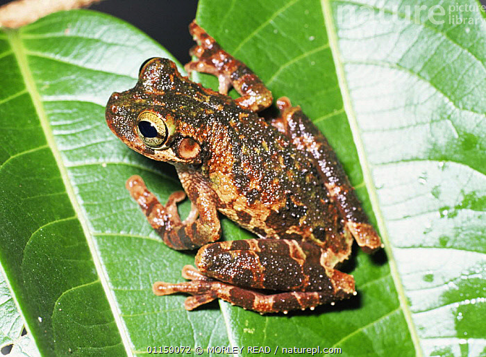 Buckleys bonehead tree frog {Osteocephalus buckleyi} Yasuni NP, Ecuador  ,  AMPHIBIANS,ANURA,FROGS,RESERVE,SOUTH AMERICA,TREE FROGS,TROPICAL RAINFOREST,VERTEBRATES  ,  MORLEY READ