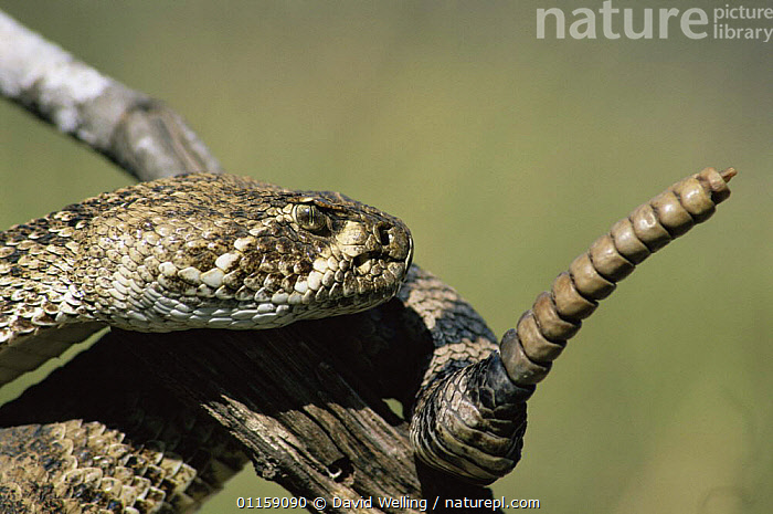 Western diamondback rattlesnake {Crotalus atrox} showing rattle, Texas, USA  ,  NORTH AMERICA,POISONOUS,REPTILES,SNAKES,TAILS,USA,VERTEBRATES,VIPERS, Rattlesnakes  ,  David Welling