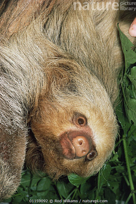 Hoffmann's two toed sloth {Choloepus hoffmanni} captive, from Central and South America  ,  CENTRAL AMERICA,EDENTATES,MAMMALS,PORTRAITS,SLOTHS,SOUTH AMERICA,VERTEBRATES,VERTICAL  ,  Rod Williams