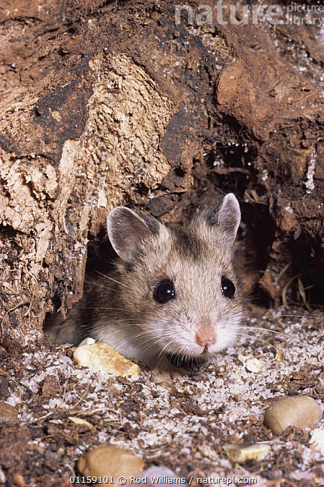 Chinese striped hamster {Cricetulus barabensis} captive, from North and East Asia  ,  ASIA,CUTE,HAMSTERS,MAMMALS,PETS,PORTRAITS,RODENTS,VERTEBRATES,VERTICAL,Muridae  ,  Rod Williams