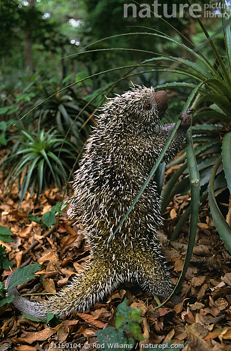 African crested porcupine {Hystrix cristata} juvenile, captive, from Africa  ,  AFRICA,BABIES,CUTE,MAMMALS,PORCUPINES,rodents,STANDING,VERTEBRATES,VERTICAL  ,  Rod Williams