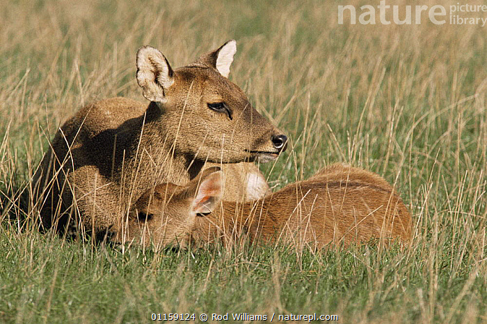 Hog deer {Axis porcinus} female with young, captive, from Asia  ,  ARTIODACTYLA,ASIA,BABIES,CERVIDS,DEER,FAMILIES,MAMMALS,VERTEBRATES  ,  Rod Williams